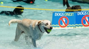 Public Swimming Pool Goes to the Dogs