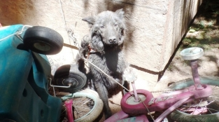 Dog Chained Down In Junk Pile But Help Arrived In Nick Of Time