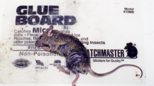 6 Steps to Save Animals Stuck on Glue Traps