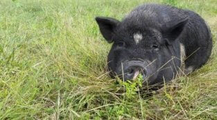 VIDEO: More Than 100 Pigs Rescued From Hoarding Hell—See Them Now!