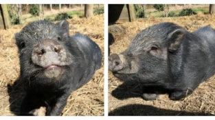 Ready to Adopt a Rescued Piglet?