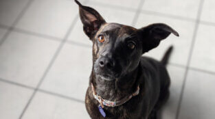 Brindle Beauty Ready to Find 'the One'